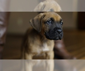 Boxer Cane Corso Mix Litter Of Puppies
