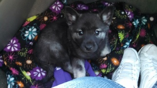 Norwegian Elkhound Puppy For Sale in OKLAHOMA CITY, OK
