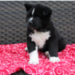 Akita Puppy For Sale in FRESNO, Ohio,