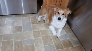 Pembroke Welsh Corgi Puppy For Sale in CANTON, OH, USA