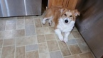 Pembroke Welsh Corgi Puppy For Sale in CANTON, OH
