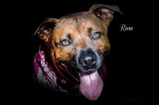 Rose - Rhodesian Ridgeback / Labrador Retriever / Mixed Dog For Adoption