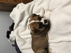 Olde English Bulldogge Puppy For Sale in ROCHESTER, MN,