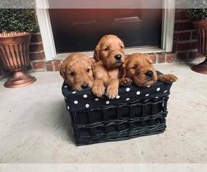 Golden Retriever Puppy for sale in VALDOSTA, GA, USA