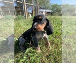 Small #3 Bluetick Coonhound