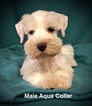 Schnauzer (Miniature) Puppy For Sale in SMITHVILLE, MS, USA