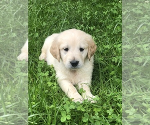 English Cream Golden Retriever Puppy for sale in BEAN BLOSSOM, IN, USA