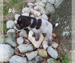 Wirehaired Pointing Griffon Puppy for sale in LOUDONVILLE, OH, USA