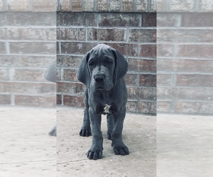 Great Dane Puppy for sale in GLENPOOL, OK, USA