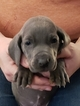 Weimaraner Puppy For Sale in ALSEN, South Dakota,