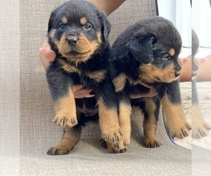 Rottweiler Puppy for sale in FREEPORT, NY, USA