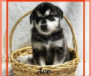 Goberian Puppy for Sale in BRINKHAVEN, Ohio USA