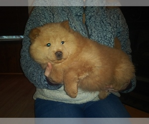 Chow Chow Puppy for sale in CHESNEE, SC, USA