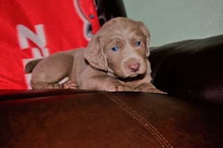 Weimaraner Puppy For Sale in EATONVILLE, WA