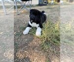 Puppy 1 Akita