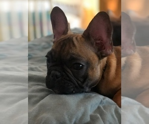 French Bulldog Puppy for sale in CARLSBAD, CA, USA
