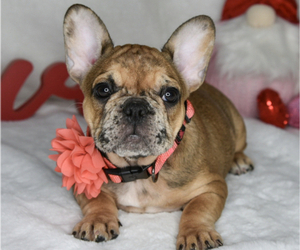 French Bulldog Puppy for Sale in BYRON CENTER, Michigan USA