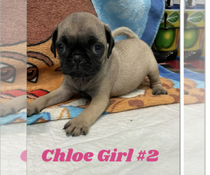 Pug Puppy for sale in PETERSBURG, VA, USA