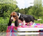 Small Photo #4 Basset Hound Puppy For Sale in UNION CITY, TN, USA