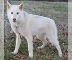 Small #2 Wolf Hybrid