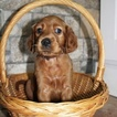 AKC Irish Setter Puppies
