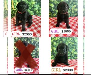 Labrador Retriever Puppy for sale in MENIFEE, CA, USA