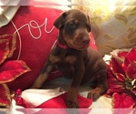 Puppy 8 Doberman Pinscher