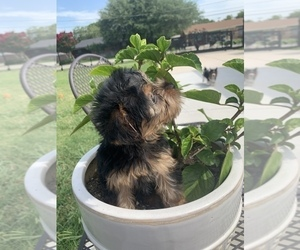 Yorkshire Terrier Puppy for Sale in FORT WORTH, Texas USA