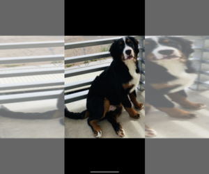 Bernese Mountain Dog Puppy for sale in PHOENIX, AZ, USA