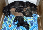 Dachshund Puppy For Sale in LAKEBAY, WA, USA