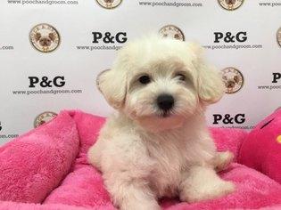 Maltese Puppy For Sale in TEMPLE CITY, CA
