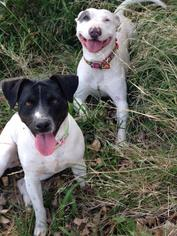 Sonya and Joey - Bull Terrier / Jack Russell Terrier / Mixed Dog For Adoption