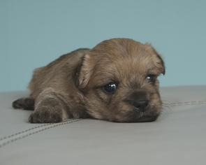 Cairn Terrier Puppy for sale in MIDWAY, UT, USA