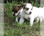 Adorable Fun Loving Jack Russell Terrier Puppies