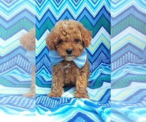 Poodle (Miniature) Puppy for sale in LANCASTER, PA, USA