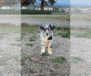 Australian Shepherd Puppy for sale in VANCOUVER, WA, USA