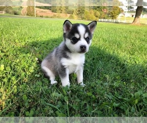 Alaskan Klee Kai Puppy for sale in WILLIAMSBURG, OH, USA