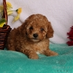 Poodle (Miniature) Puppy For Sale in GAP, PA