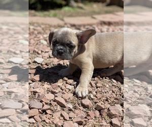 French Bulldog Puppy for Sale in SAN DIEGO, California USA