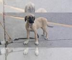 Small #1 Kangal Dog