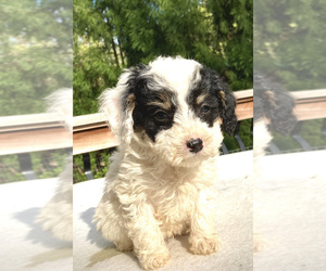 Aussie-Poo Puppy for Sale in CHATHAM, Pennsylvania USA