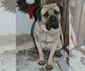 Father of the Mastiff puppies born on 12/17/2020