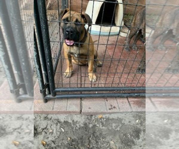 Medium Photo #2 Presa Canario Puppy For Sale in JACKSONVILLE, FL, USA