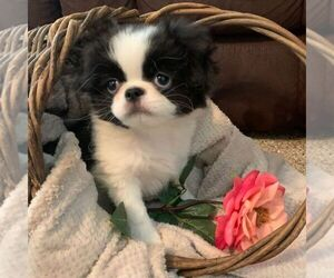 Japanese Chin Puppy for sale in DAVISVILLE, MO, USA