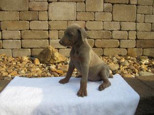Doberman Pinscher Puppy For Sale in MOCKSVILLE, NC
