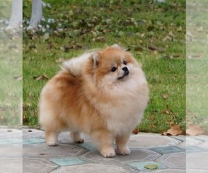 Mother of the Pomeranian puppies born on 07/15/2020