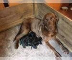Small Photo #5 Labrador Retriever Puppy For Sale in FRUITPORT, MI, USA