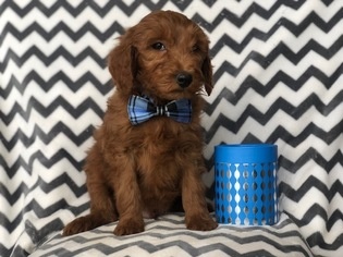 Goldendoodle-Poodle (Standard) Mix Puppy for sale in CEDAR LANE, PA, USA