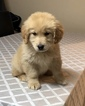 Golden Retriever Puppy For Sale in WARREN, Massachusetts,