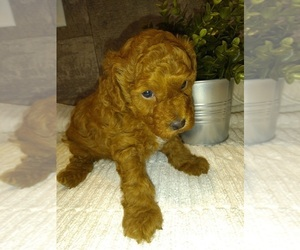 Poodle (Toy) Puppy for sale in MILFORD, IN, USA